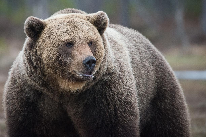 Elisabeth Landberger Fotograf Björn Brown Bear--2