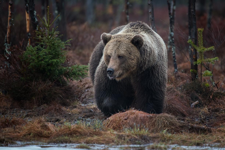Elisabeth Landberger Fotograf Björn Brown Bear--5