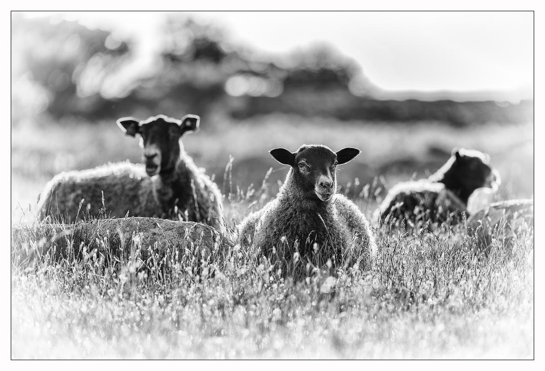 Elisabeth Landberger Fotograf Sheep-